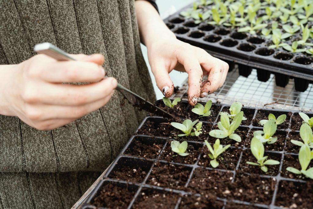 Henkilö siirtää taimia istutuskennostosta toiseen käyttäen apunaan veistä. Kuvassa näkyvät vain henkilön kädet.